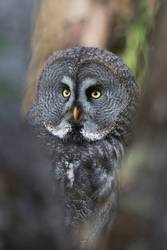 owl looks into the camera