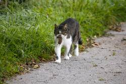 Cat carries a dead mouse in the mouth after the mouse hunt