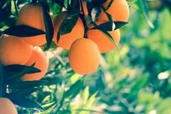 Orangen.Baum