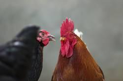 Hühnerliebe