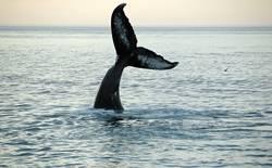 Walfischflosse