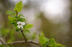 Blüte an Kirschzweig