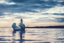Schwan auf dem Bodensee