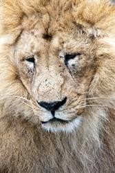 # König der Savanne