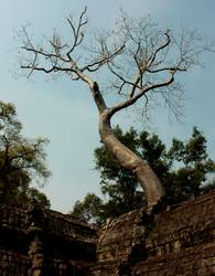 Ta Prohm Tree I