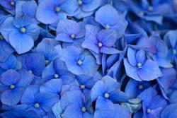 blau blau blüht...