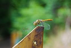 Liebe Libelle
