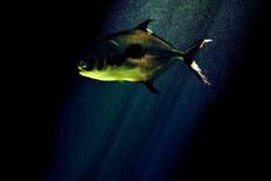 BIG FISH III