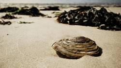 Einsame Muschel
