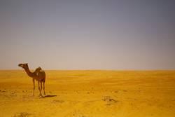 camel missing a trophy