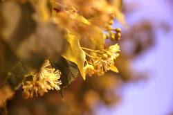 Lindenblüten II