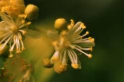 Lindenblüten lV