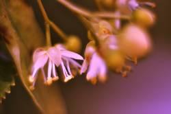 Lindenblüten III