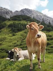Viele Kühe machen Mühe