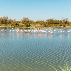 Flamingos / Camargue