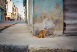kubanische Katze