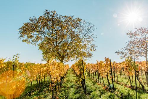 Vorfreude ... oder Baum im Wingert im Herbst