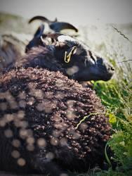 als schwarzes Schaf lebt sich 's gut