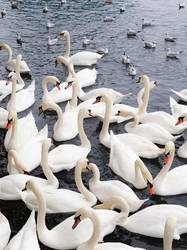 Large group of white swans and seagulls