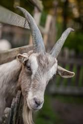 bock(s)horn