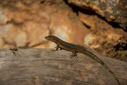 Kleiner Drache auf Sa Dragonera, Mallorca, Spanien