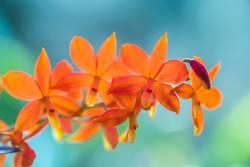 Encyclia vitellina Orchidee