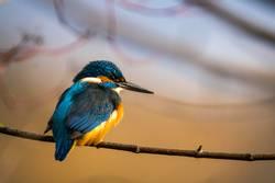 Eisvogel - Kingfisher - martin-pêcheur