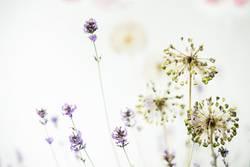 Gemengelage l Lavendel und Zierlauch