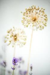 Lavendel und Zierlauch l drunter und drüber