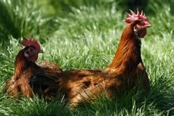 """""""Ich wollt', ich wär' ein Huhn..."""""""