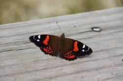 Schmetterling auf Holz