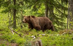 Brown Bear on forest