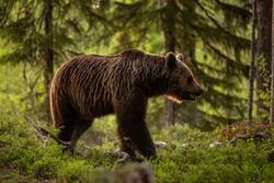 Brown bear on forest.