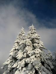Schneetanne