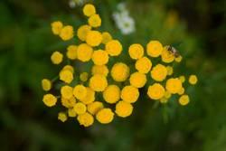 Mücke auf so einer Blume (Rainfarm)