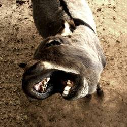 Hungriger Esel / Hungry Donkey