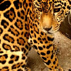 Wohl ein Leopard