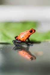 Kleiner roter Frosch (giftig)