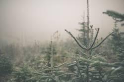 Kalte Weihnachtsbäume // Ready to be geschmückt.