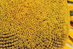 Sonnenblumenöl in spe 1