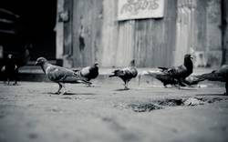 a flock of pigeon