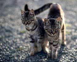 Doppeltes Kätzchen