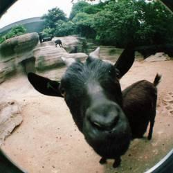 berta, the nanny-goat.