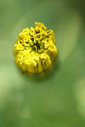 Blütenentfaltung