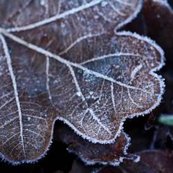 Eichenblatt kalt erwischt