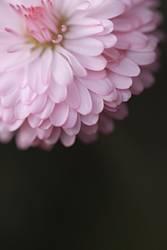 Miss Gänseblümchen