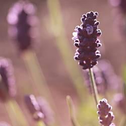 eine Prise Lavendel