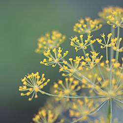 Dill-watching