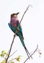Afrikanischer Vogel Gabelrake
