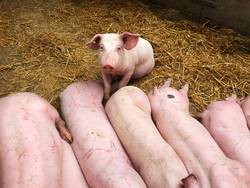 Junge Schweine auf Stroh
